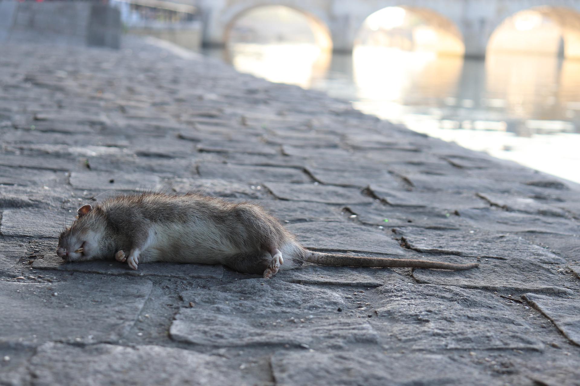 Comment Tuer un Rat avec du Javel